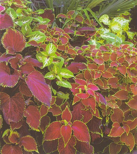 Колеус 54 фото пестрое растение для украшения дома и