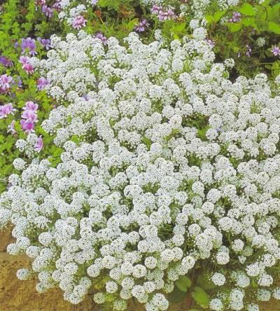 464Почвопокровные садовые цветы